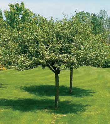 Hawthorne Tree