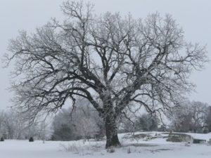 Oak Tree 2 001 Resized Again